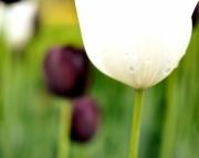 8x10 Tulip Photography Print