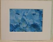 Matted Blue Hydrangea Print