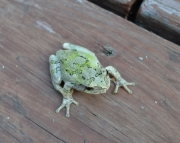 Deck Frog