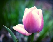 Vibrant Pink Tulip with Dew Drops (mothers Day)