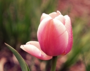 Pink, Softly (mothers Day)