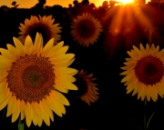 Sunflowers at Sundown (Mother's Day)
