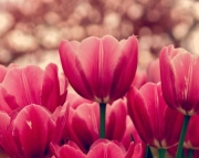 Tulips in Pink 12