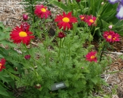 Tanacetum Coccineum Painted Daisy
