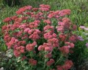 Sedum Stonecrop perennial