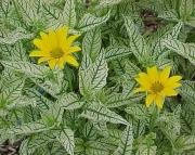 Heliopsis Sunflower Perennial