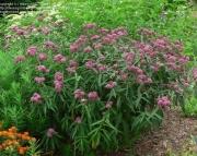 Asclepias Incarnata milkweed
