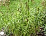 Carex Muskingumensis perennial