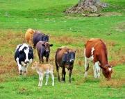 Dairy Diversity