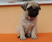 Papered Pug Puppies For Pet Lovers