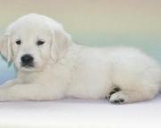 Health Golden Retriever Pups Ready For You