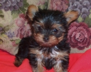 Amazing Teacup Yorkie Puppies Available
