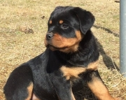 Attractive German Rottweiler Puppies  (((( 937 x 469 x 8986 )))))*