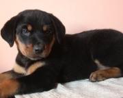 Adroit German Rottweiler Puppies  (((( 937 x 469 x 8986 )))))*
