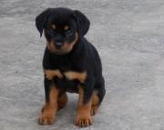 Charming German Rottweiler Puppies (((( 937 x 469 x 8986 )))))*