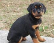 Brawny German Rottweiler Puppies (((( 937 x 469 x 8986 )))))*