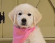 Golden Retriever Puppies for Sale Both M/f Avail TEXT ONLY:  (((( 937 x 469 x 8986 )))))*