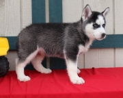 Comely Siberian Husky Puppies (((( 937 x 469 x 8986 )))))*
