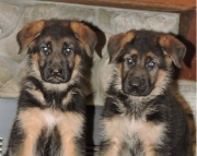 German Sheperd Puppies for Sale Both M/f Avail TEXT ONLY:  (((( 937 x 469 x 8986 )))))*