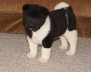 Akita Puppies for Sale Both Mf Avail TEXT ONLY   937 x 469 x 8986