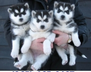 qm Siberian Husky puppies