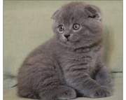 Scottish Fold girl 100 purebred  very loving sweet playful