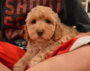 MF Cockapoo Puppies for Sale3 0 2 5 8 5 x 4 2 7 9