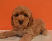 M/F Cockapoo Puppies for Sale#3 0 2 5 8 5 x 4 2 7 9