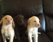 Ravishing Labrador Retriever puppies for Sale Both M/f Avail TEXT ONLY:  (((( 937 x 469 x 8986 )))))
