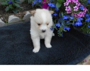 Muscular Pomeranian Puppies for Sale Both M/f Avail TEXT ONLY:  (((( 937 x 469 x 8986 )))))*