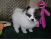 Neat Pomeranian Puppies for Sale Both M/f Avail TEXT ONLY:  (((( 937 x 469 x 8986 )))))*