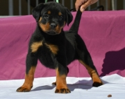 Lively German Rottweiler Puppies Both M/f Avail TEXT ONLY:  (((( 937 x 469 x 8986 )))))*