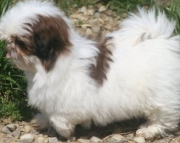 Good-looking Shih Tzu Puppies Both M/f Avail TEXT ONLY:  (((( 937 x 469 x 8986 )))))*