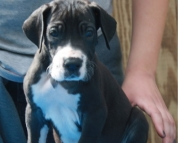 Winsome Great Dane puppies for Sale Both M/f Avail TEXT ONLY:  (((( 937 x 469 x 8986 )))))*