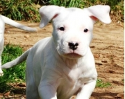 Shapely Dogo Argentino puppies for Sale Both M/f Avail TEXT ONLY:  (((( 937 x 469 x 8986 )))))*
