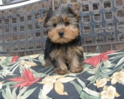 Manly Yorkshire Terrier Puppies for Sale Both M/f Avail TEXT ONLY:  (((( 937 x 469 x 8986 )))))*