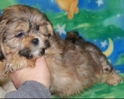Graceful Shih Tzu Puppies Both M/f Avail TEXT ONLY:  (((( 937 x 469 x 8986 )))))*