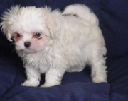 Fair Maltese Puppies Both M/f Avail TEXT ONLY:  (((( 937 x 469 x 8986 )))))*