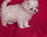 Fascinating Maltese Puppies Both M/f Avail TEXT ONLY:  (((( 937 x 469 x 8986 )))))*