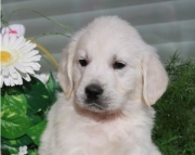 Pretty Golden Retriever Puppies for Sale Both M/f Avail Text Only:  (((( 937 X 469 X 8986 )))))*