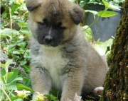 Stalwart Akita puppies for Sale Both M/f Avail TEXT ONLY:  (((( 937 x 469 x 8986 )))))*