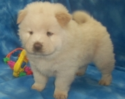 Vivacious Chow Chow puppies for Sale Both M/f Avail TEXT ONLY:  (((( 937 x 469 x 8986 )))))*