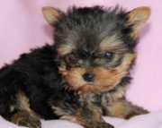 Lovely Yorkshire Terrier Puppies for Sale Both M/f Avail TEXT ONLY:  (((( 937 x 469 x 8986 )))))*