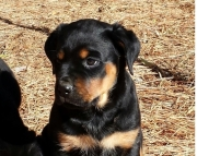 adored German Rottweiler Puppies Both M/f Avail TEXT ONLY:  (((( 937 x 469 x 8986 )))))*
