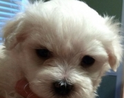 acceptable Maltese Puppies Both M/f Avail TEXT ONLY:  (((( 937 x 469 x 8986 )))))*