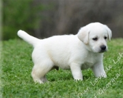 astonishing Labrador Retriever puppies for Sale Both M/f Avail TEXT ONLY:  (((( 937 x 469 x 8986 )))