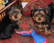 affectionate Yorkshire Terrier Puppies for Sale Both M/f Avail TEXT ONLY:  (((( 937 x 469 x 8986 )))