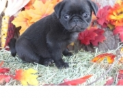 adorable Pug Puppies Both M/f Avail TEXT ONLY:  (((( 937 x 469 x 8986 )))))*