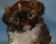 accurate Shih Tzu Puppies Both M/f Avail TEXT ONLY:  (((( 937 x 469 x 8986 )))))*
