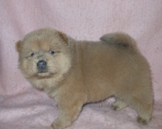 capital Chow Chow puppies for Sale Both M/f Avail TEXT ONLY:  (((( 937 x 469 x 8986 )))))*